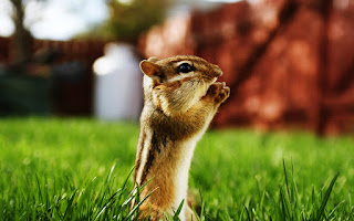Little Cute Chipmunk HD Wallpaper