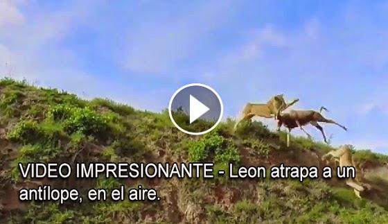 VIDEO IMPRESIONANTE - Leon atrapa a un antílope, en el aire.