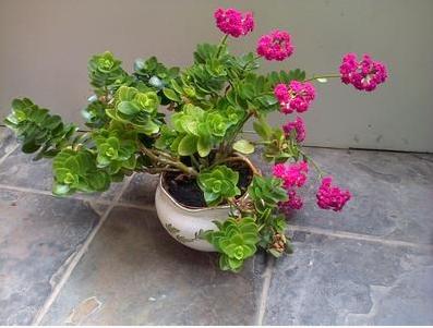 cveća kalanhoja