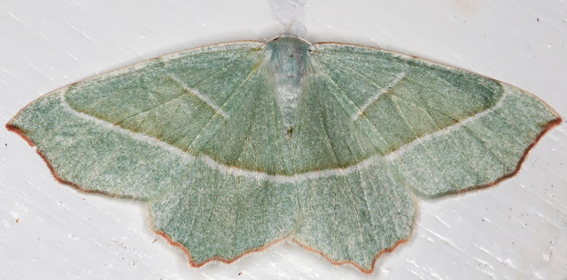 Light Emerald, Campaea margaritata.  In my garden light trap on 23 August 2015.