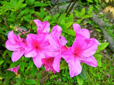 Yangmingshan Pink Flowers Taiwan