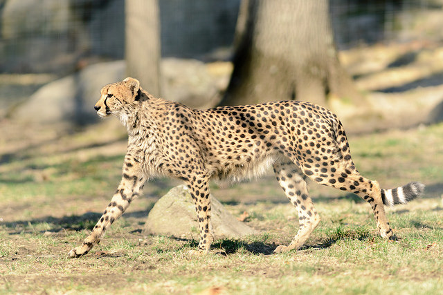 genetic diversity and the cheetah by
