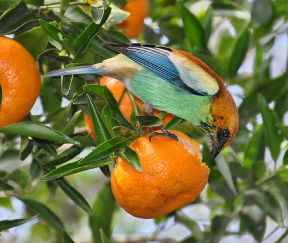 Nature Image for Bird Eating Orange