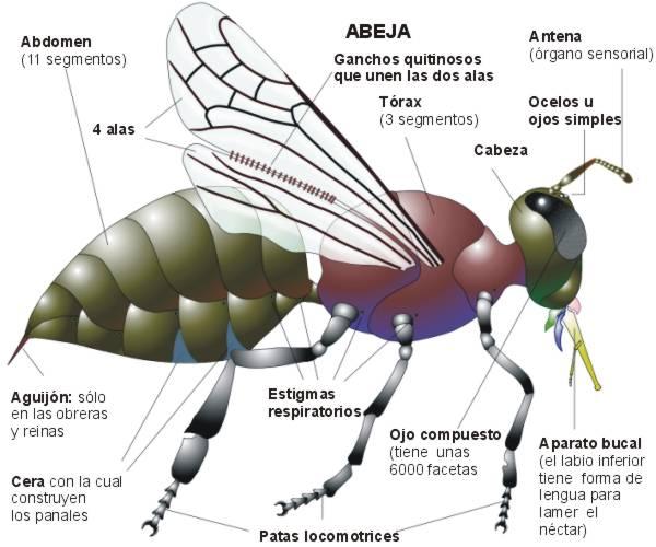 Naturaleza Viva : ABEJAS OBRERAS ( Apis mellifera ) ANATOMIA