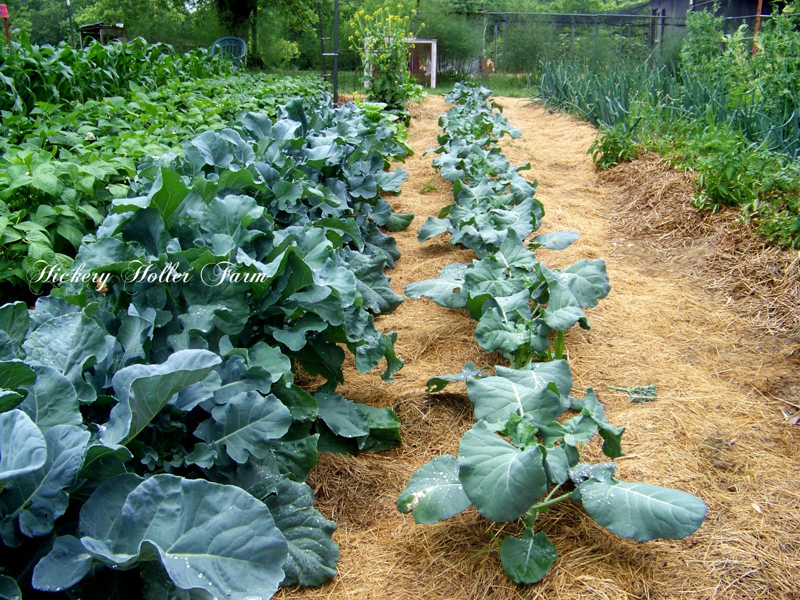 Fine Mulch For Vegetable Garden Sketch - Beautiful Garden ...