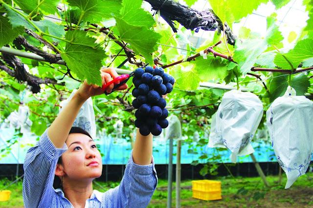 Yamanashi – Vương quốc trái cây Nhật Bản