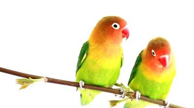 berternak lovebird juara september 2012