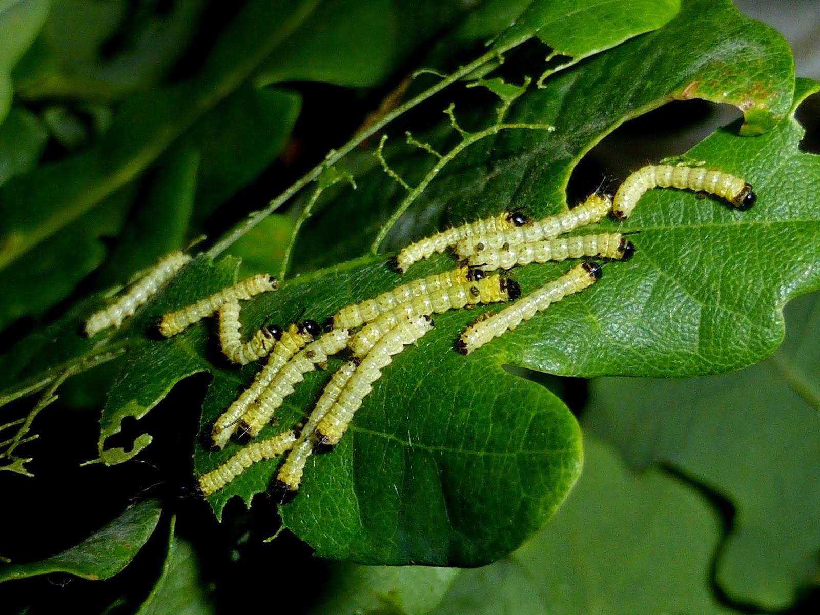 Anisota stigma caterpillar