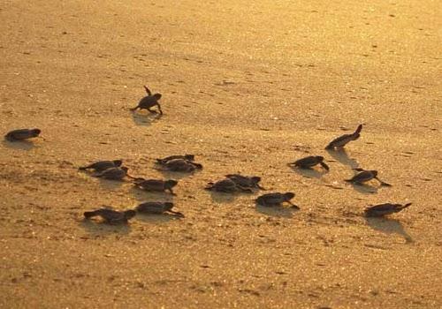 Peneluran Penyu di Pantai Pangumbahan Sukabumi