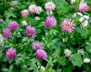 Клевер розовый - медоносы