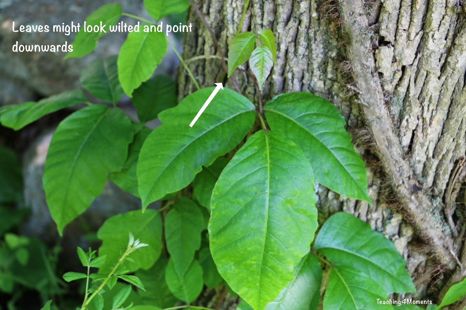 Teaching 4 Moments-Poison ivy may have wilted looking leaves