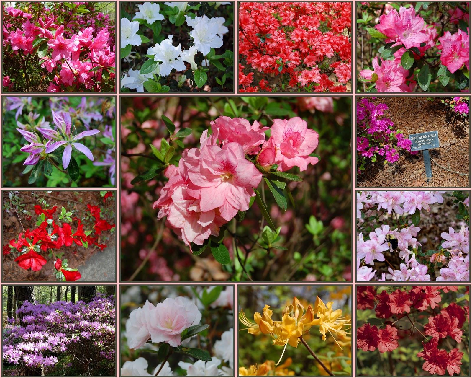 recollections of a vagabonde azaleas at callaway gardens