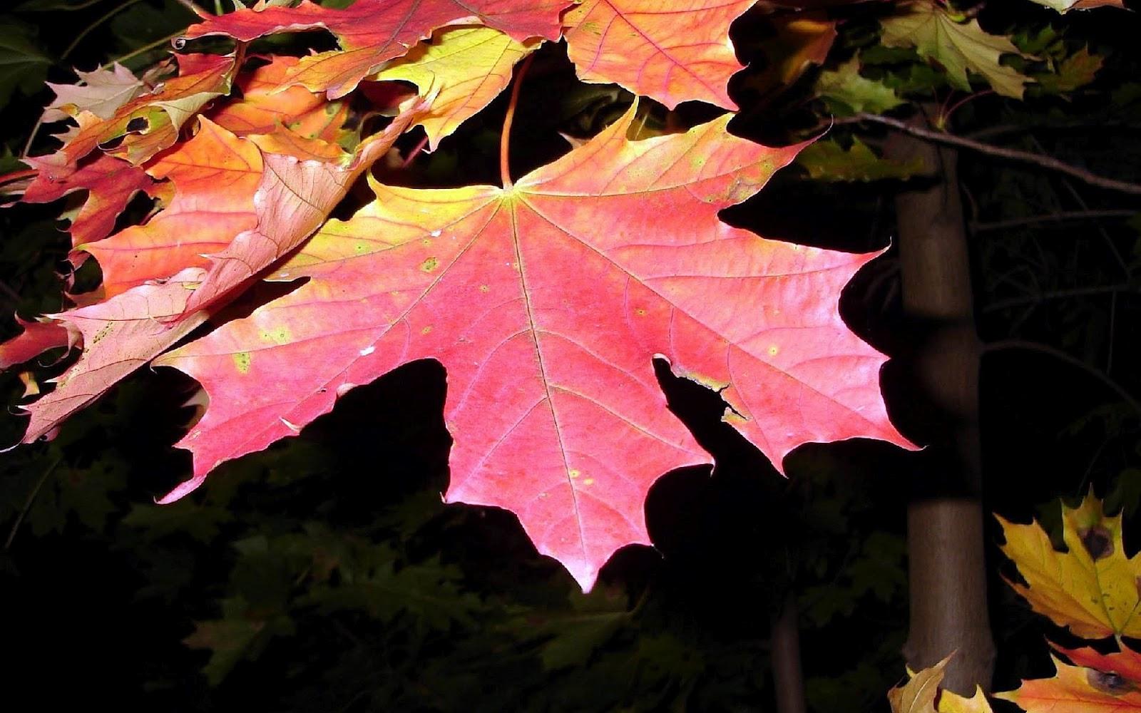 http://2.bp.blogspot.com/-YchnKoJNZGE/UFc2y02dBXI/AAAAAAAACTQ/9aGcv51Zw6o/s1600/hd-herfst-wallpaper-met-grote-rode-herfstbladeren-aan-de-boom-hd-herfst-achtergrond-foto.jpg