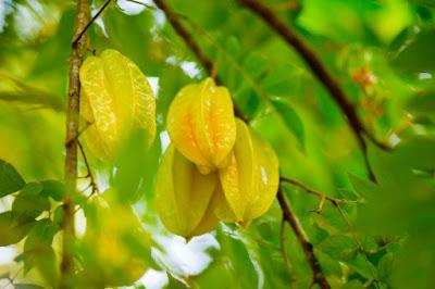 tanaman belimbing
