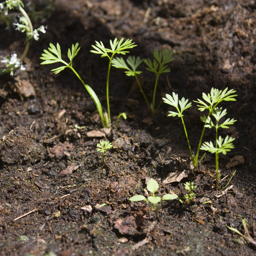 mala hierba entre las plantas de zanahoria