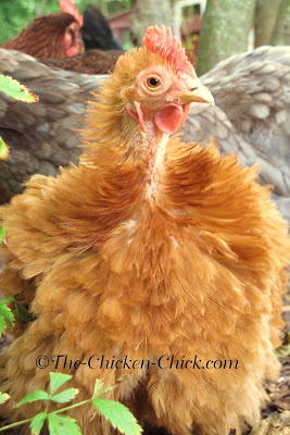 Rachel (Bantam Cochin Frizzle) has just begun molting.