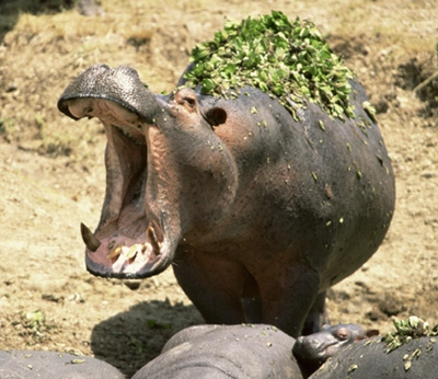 gtotem_hippopotamus