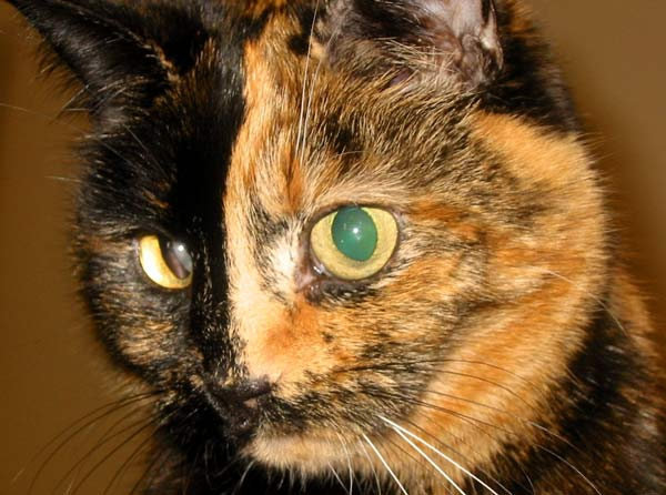 The biologian why women are chimeras and sex determination - Images of tortoiseshell cats ...