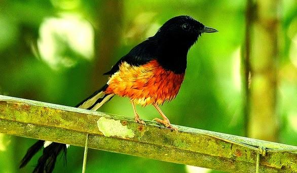 burung-murai-batu-di-alam