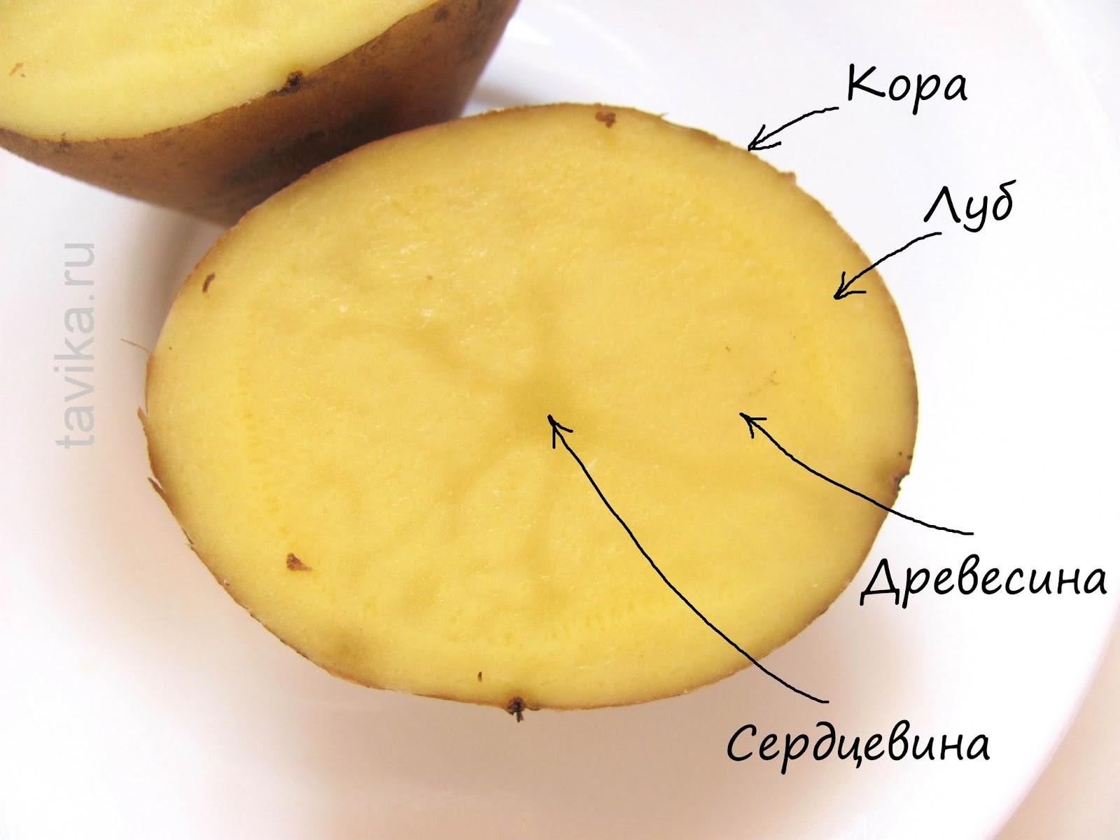 Клубень картофеля - строение в разрезе