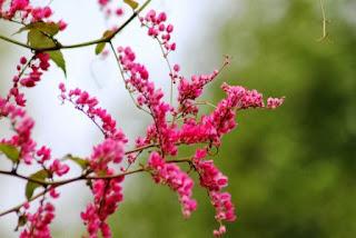 air mata pengantin bunga pink