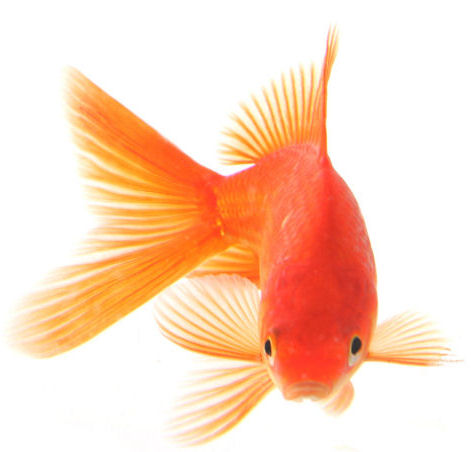 Fish Information Blog: Goldfish and Their Types