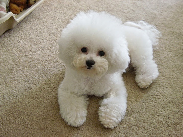 See more Rusty is half Bichon Frise. This is what one looks like. http://cutepuppyanddog.blogspot.com/