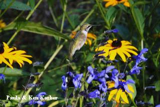hovering hummingbird