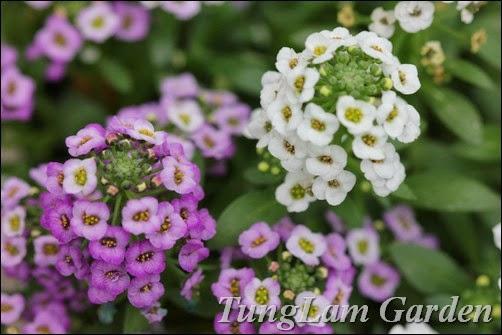 Hoa Hương tuyết, hương tuyết cầu, Alyssum