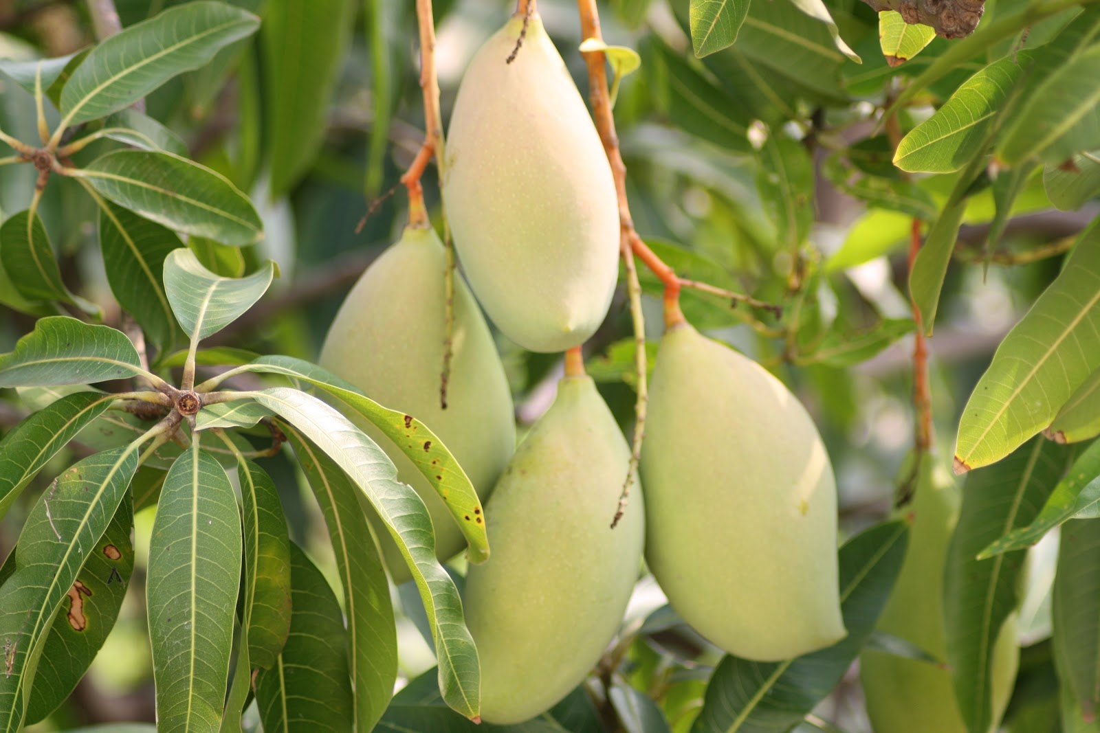 mango mangifera indica leaves extract and Mango (mangifera indica l) is one of the most antimicrobial activity of mangifera indica leaf extract against 9 bacterial strains by kirby bauer method.