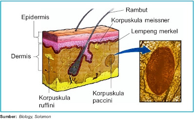 Reseptor pada indera peraba kulit