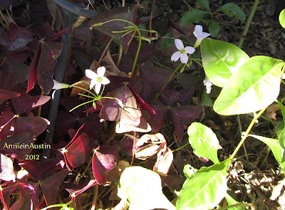 Annieinaustin burgundy leaved oxalis