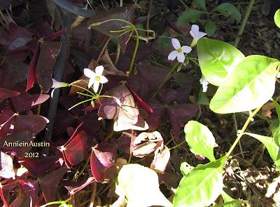 Annieinaustin burgundy leaved oxalis