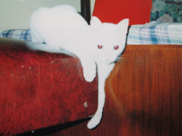 """Trixie"" the ""Albino-Siameses mix cat""."