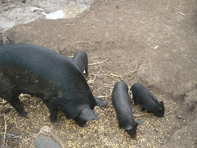 Black Piglets on a Farm