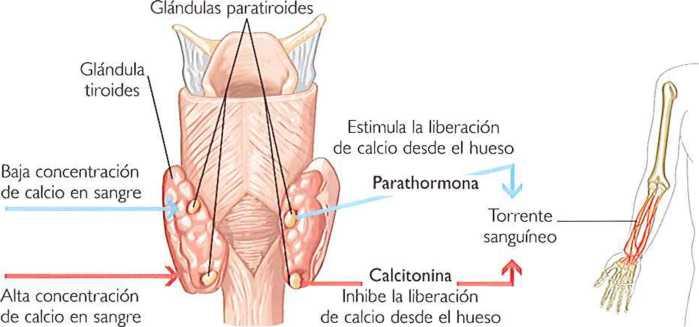 Las glándulas paratiroides