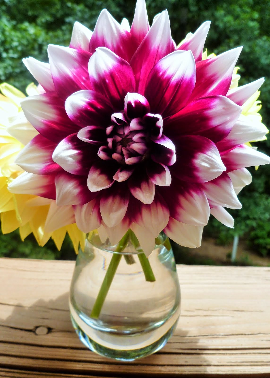Now In Bloom, Dahlias