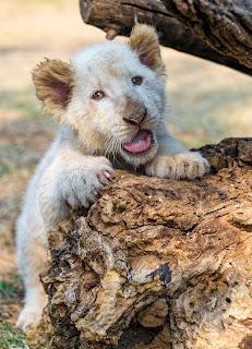 sneezing lion cub