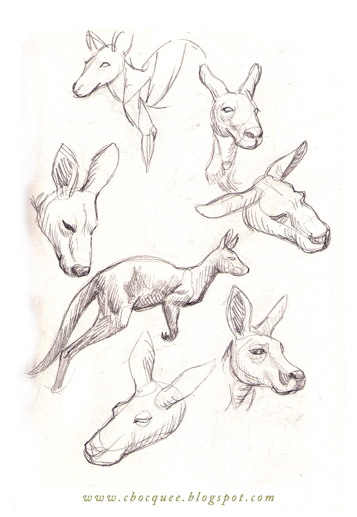 drawing studies of kangaroos