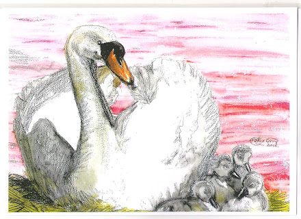 Swan and Signets pic