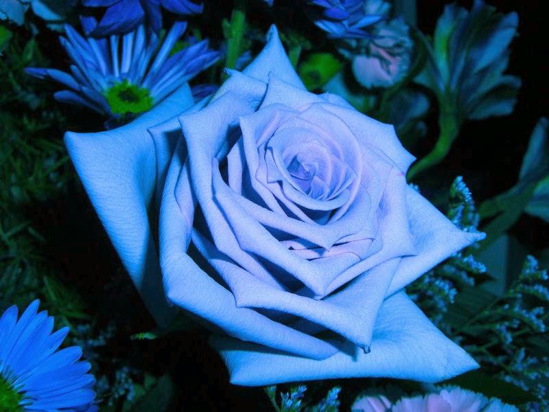 foto bunga mawar biru