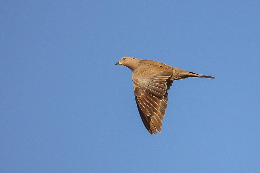 Eurasian Collared Dove sounds