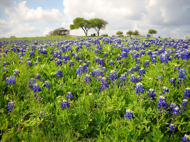 Spectacular Bluebonnet field at White Rock Lake, Dallas, Texas