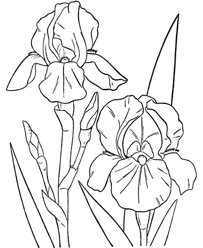iris coloring pages - photo#9