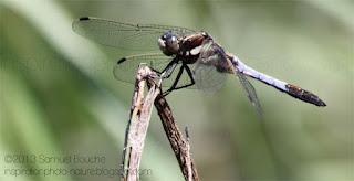 photo macro crop libellule déprimée mâle adulte et insecte et macro 300mm