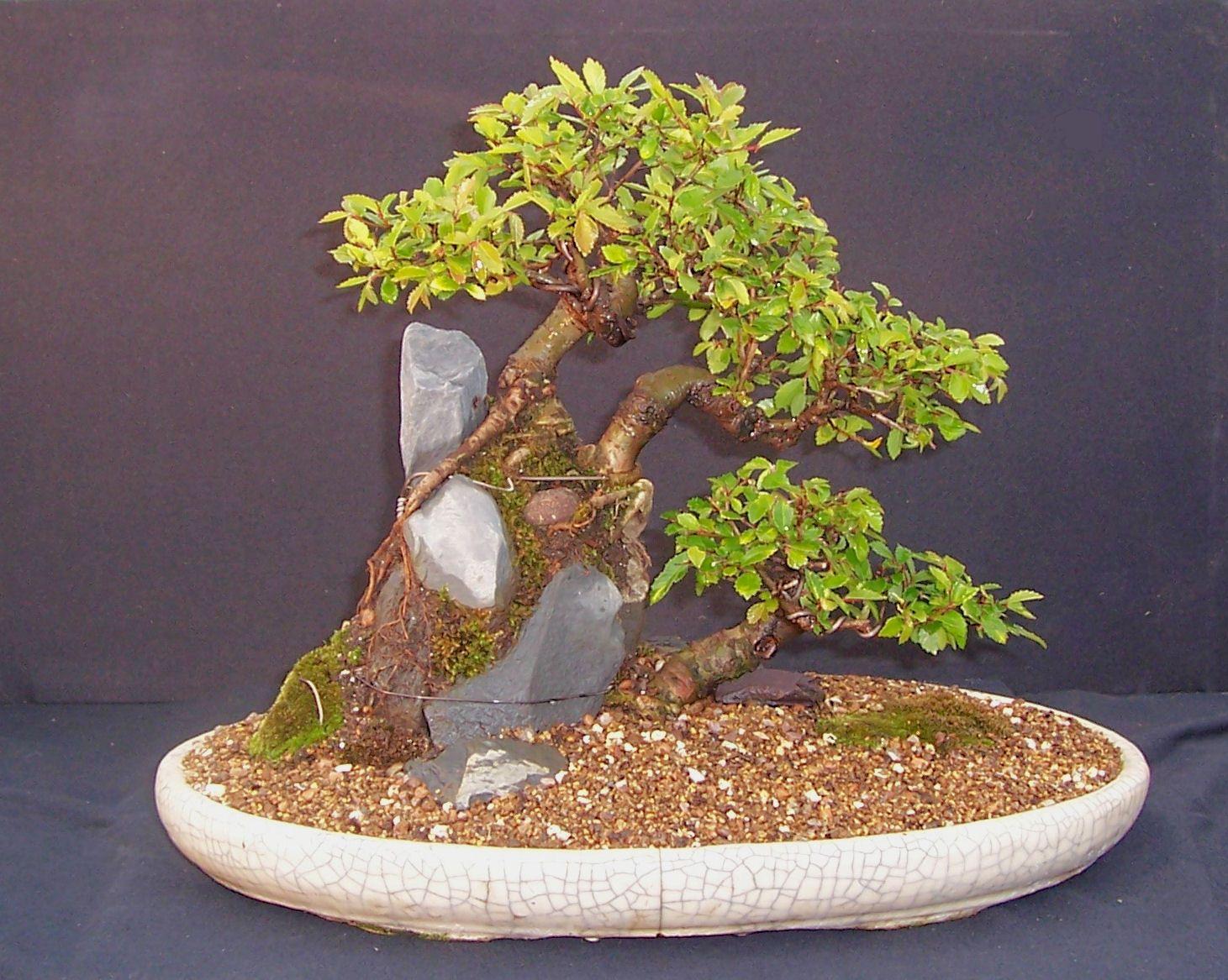 MiKo Bonsai Chinese Elm Landscape Planting