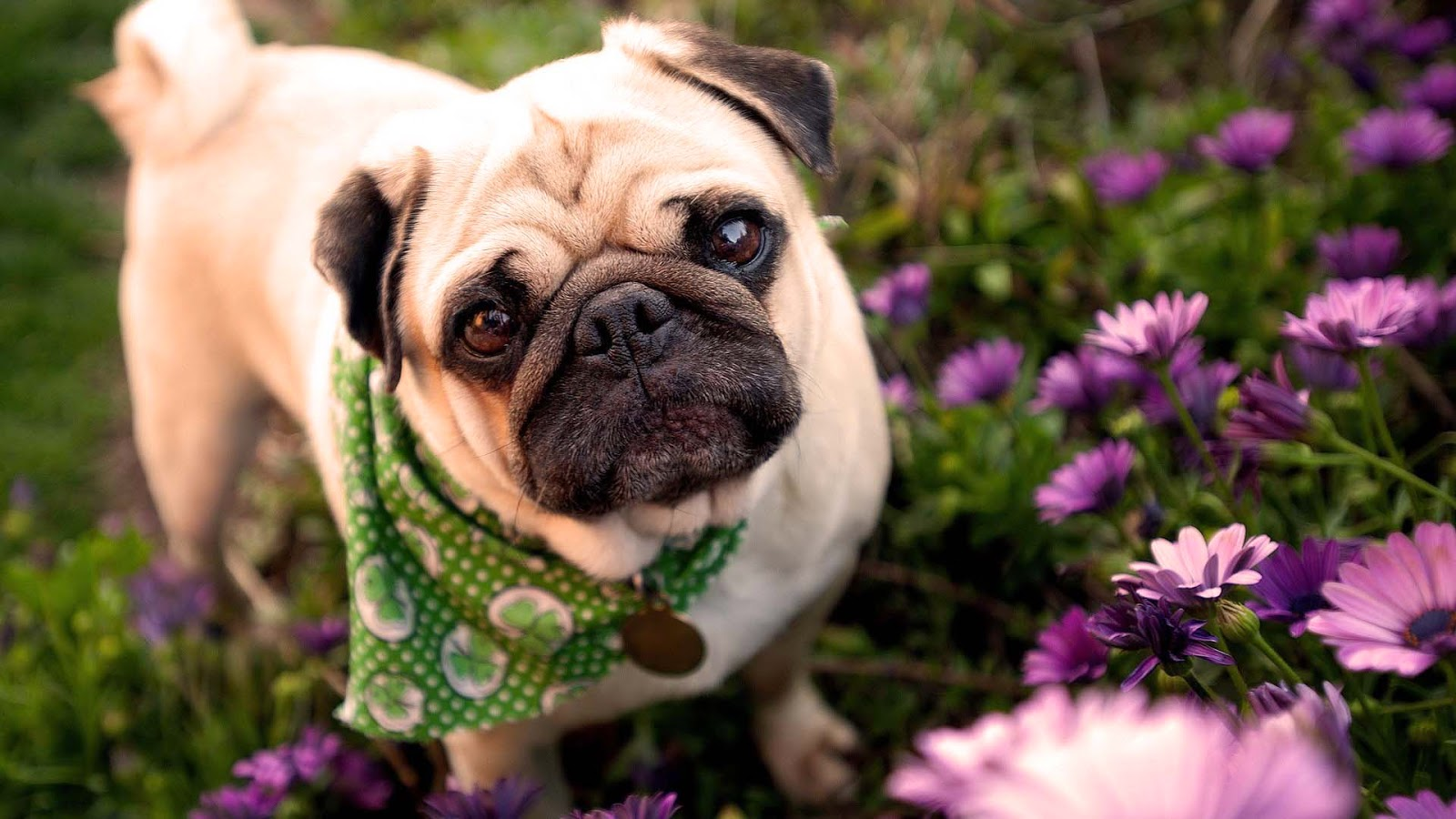 Cute Pugs Puppies for Free HD wallpaper