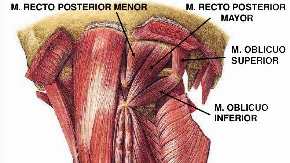 A fondo: La cabeza y la columna vertebral: MÚSCULOS POSTERIORES DEL ...