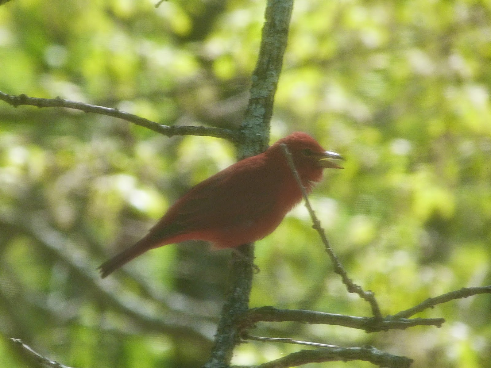 CHMustings: Summer tanager