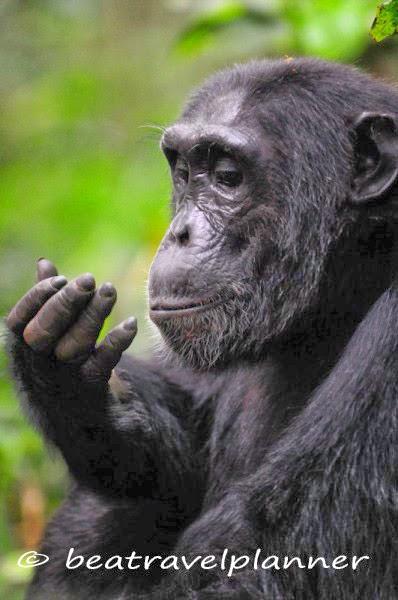 Scimpanzé - Kibale National Park - Uganda